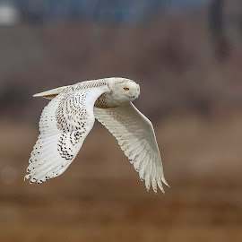 Snowy Owl in Flight by Debbie Quick - Animals Birds ( long island sound · long beach · wildlife photography · wildlife · natures best shots · natures best photos · debbie quick · debs creative images · arctic bird · nature lovers · nature · birds of prey · nature photography · raptor · arctic owl · snowy owl · bird photography · animal · sand · wild · animal photography · bird · winter · connecticut · owl · stratford,  )