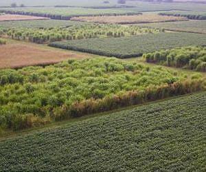 Switch Grass Image
