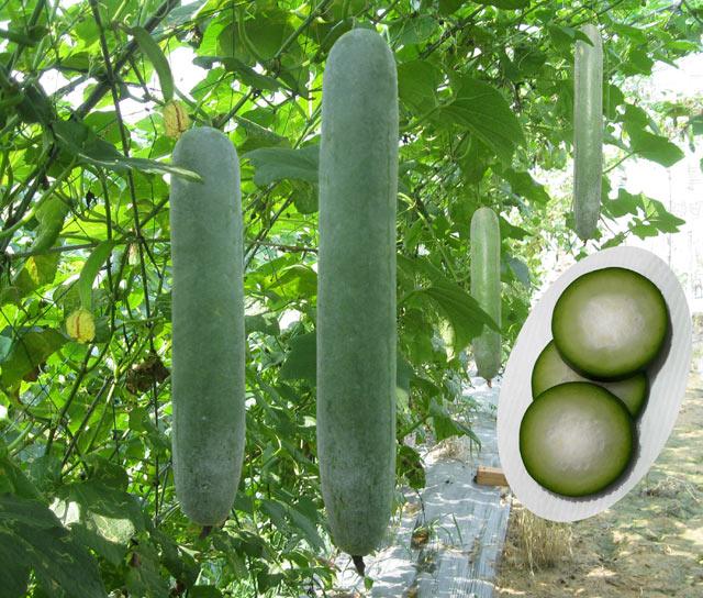 Bí quyết trồng bí đao trái vụ sai quả, không sâu bệnh - 55c84259ccf2d