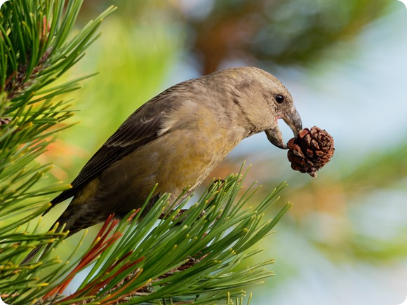 Female-Red-Crossbill-AdobeStock_179886094