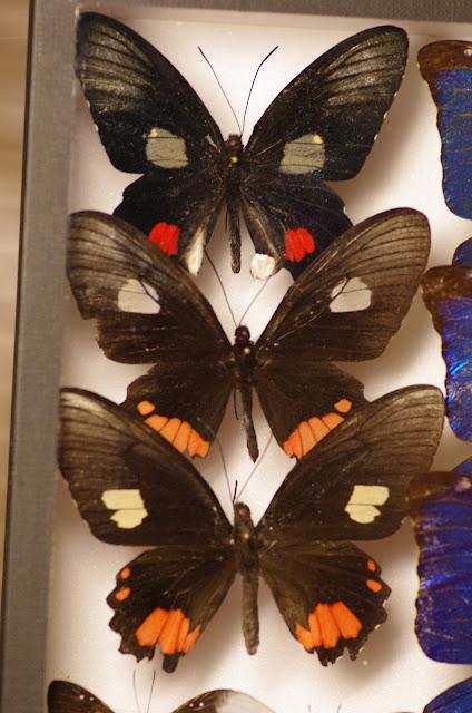 Parides vertumnus vertumnus mâle. Parides vertumnus vertumnus femelle. Parides sesostris sesostris femelle.