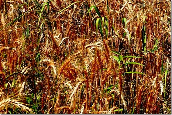 Verunreinigtes Getreide 2