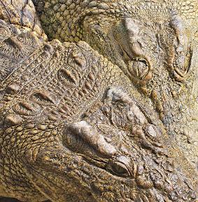 African Crocodiles, Zimbabwe