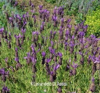 Lavanda stoechas fioritura precoce rispetto le lavande comuni: marzo aprile