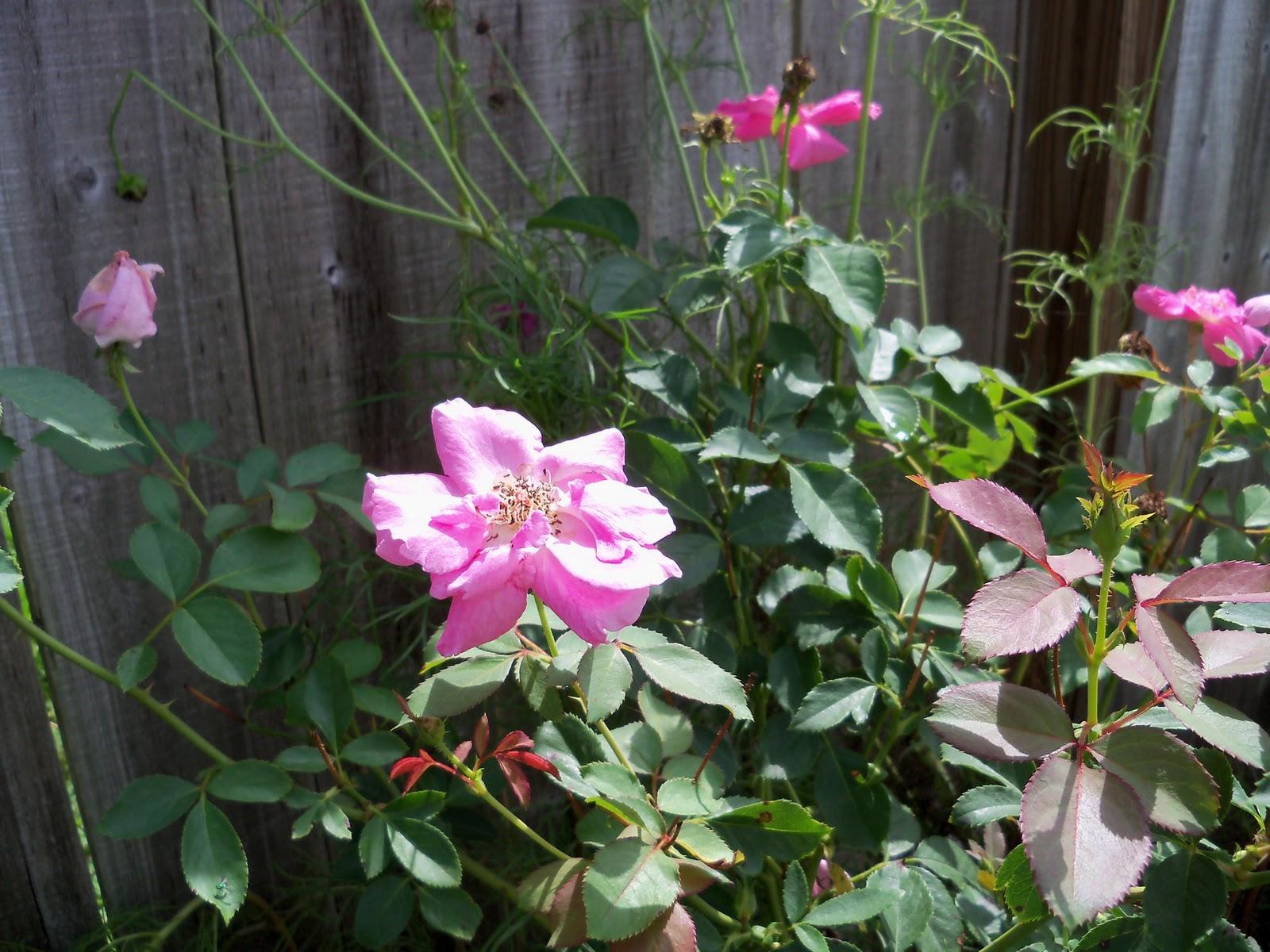 Gardening 2010, Part Three - 101_5185.JPG