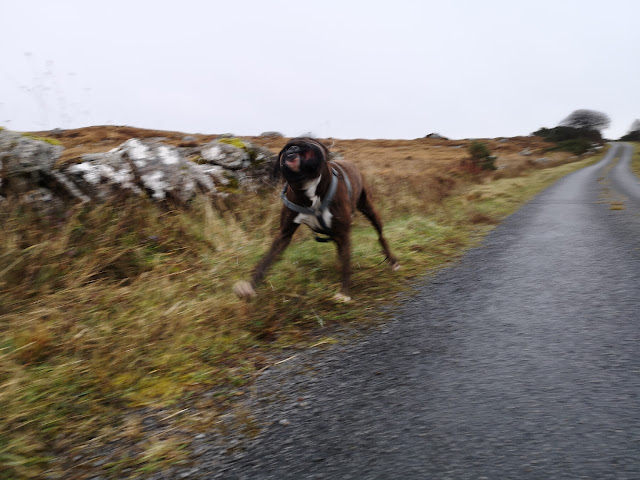 blurred image of fast running and playing boxer dog