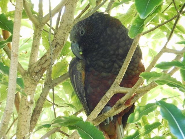 C079_NZ NI Mt Bruce Wildlife Centre_2018-04-27_DSCN9107