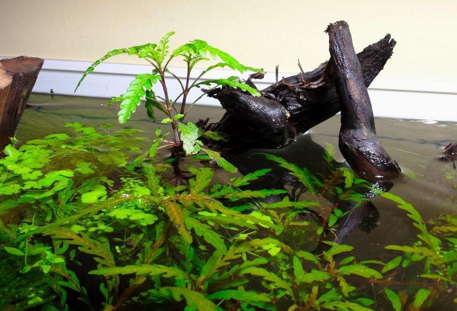 Кардантера перистонадрезанная (Cardanthera pinnatifida)