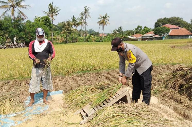 Anggota Polsek Cigasong Bantu Petani Panen Padi Sekaligus Edukasikan Prokes