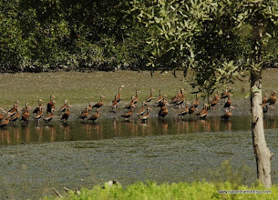 Photo: Black-bellied Whistling Ducks at Laguna de Quelele