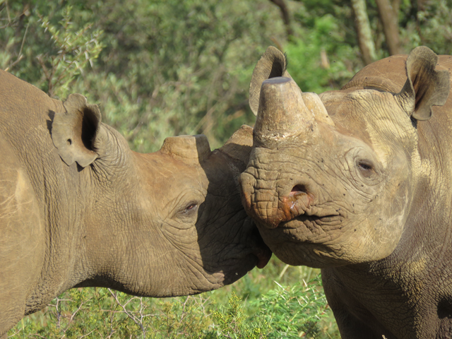 Dehorned black rhinos in South Africa. Photo: Richard Emslie / IUCN
