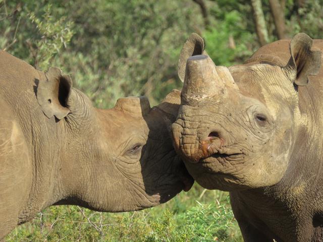 Dehorned black rhinos in South Africa. Photo: Richard Emslie / IUCN