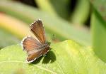 Bronzesommerfugl, marshalli.5.jpg