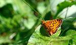 Harlekinperlemorsommerfugl, titania2.jpg