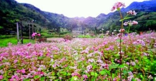 safe image 001 Mùa hoa tam giác mạch lại về trên núi đá hà Giang