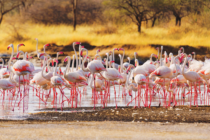 Flamingos, Lake Baringo, Kenya