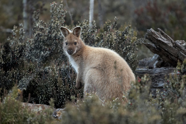 A pale brown wallaby at Cradle Mountain