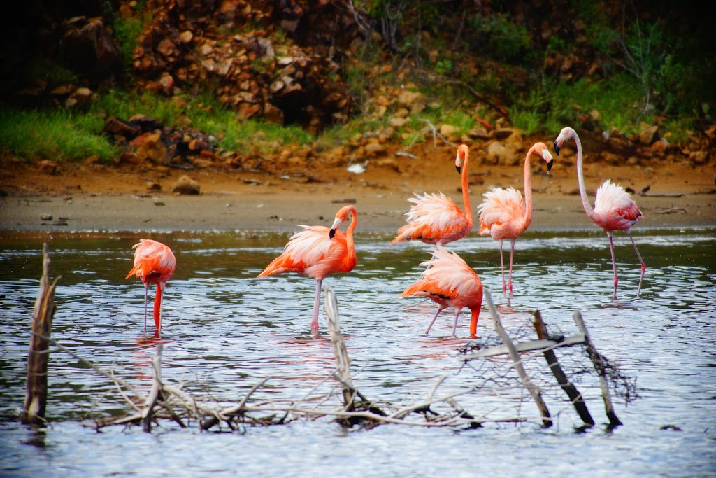 pink flamingoes in Bonaire