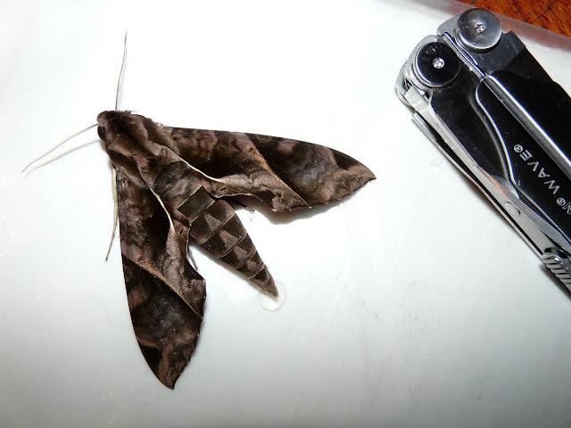 Sphingidae : Macroglossinae : Eumorpha anchemolus CRAMER, 1780, femelle. Coroico (alt. 1800 m). Bolivie, 5 février 2008. Photo : J. F. Christensen