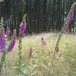 Fingerhut sehr häufig an den Waldrändern.