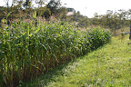 Brightside's corn patch September 13.