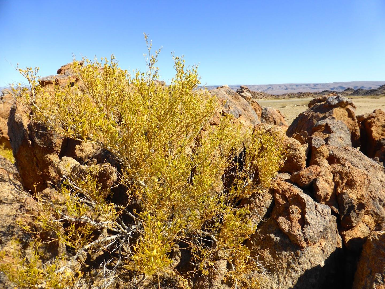 Woestijn begroeing