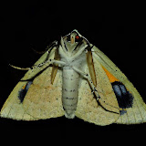 Geometridae : Oenochrominae : Gastrophora henricaria GUENÉE, 1857, mâle, verso. Umina Beach (N. S. W., Australie), 27 décembre 2011. Photo : Barbara Kedzierski
