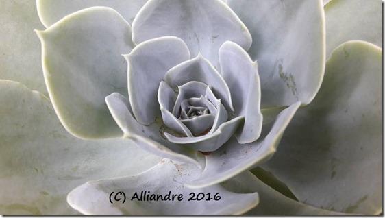 Echeveria elegans_Vale