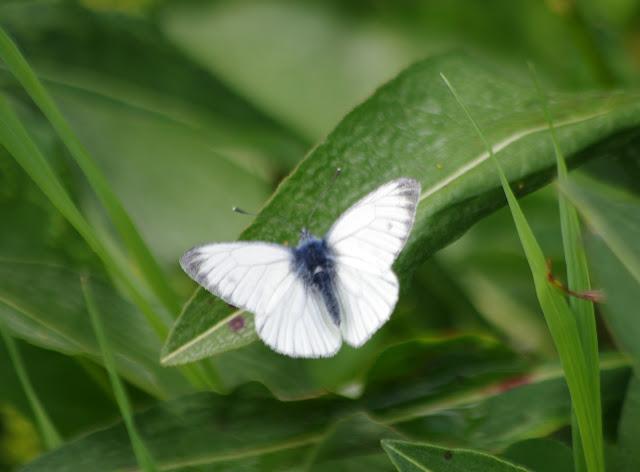 Pieris bryoniae (HÜBNER, 1806), mâle. Fex Curtins, 1980 m (Grisons, CH), 10 juillet 2013. Photo : J.-M. Gayman