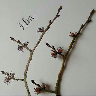 Elm buds :: www.AliceDrawsTheLine.co.uk