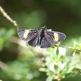 Riodinidae : Melanis aegates melliplaga STICHEL, 1910, mâle. Saut Athanase (Guyane). 21 novembre 2011. Photo : J.-M. Gayman