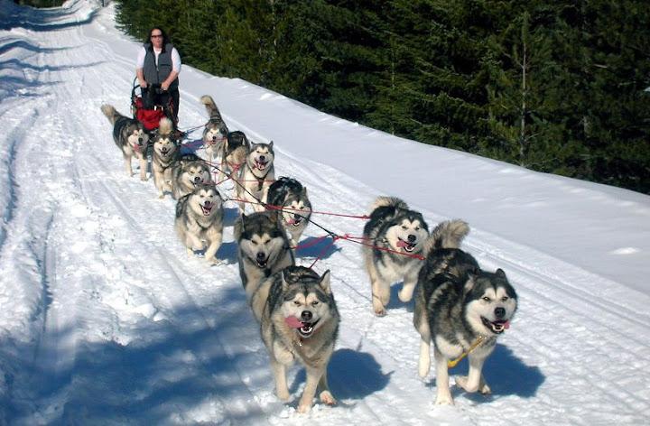 Giống chó Alaska - Alaskan Malemute