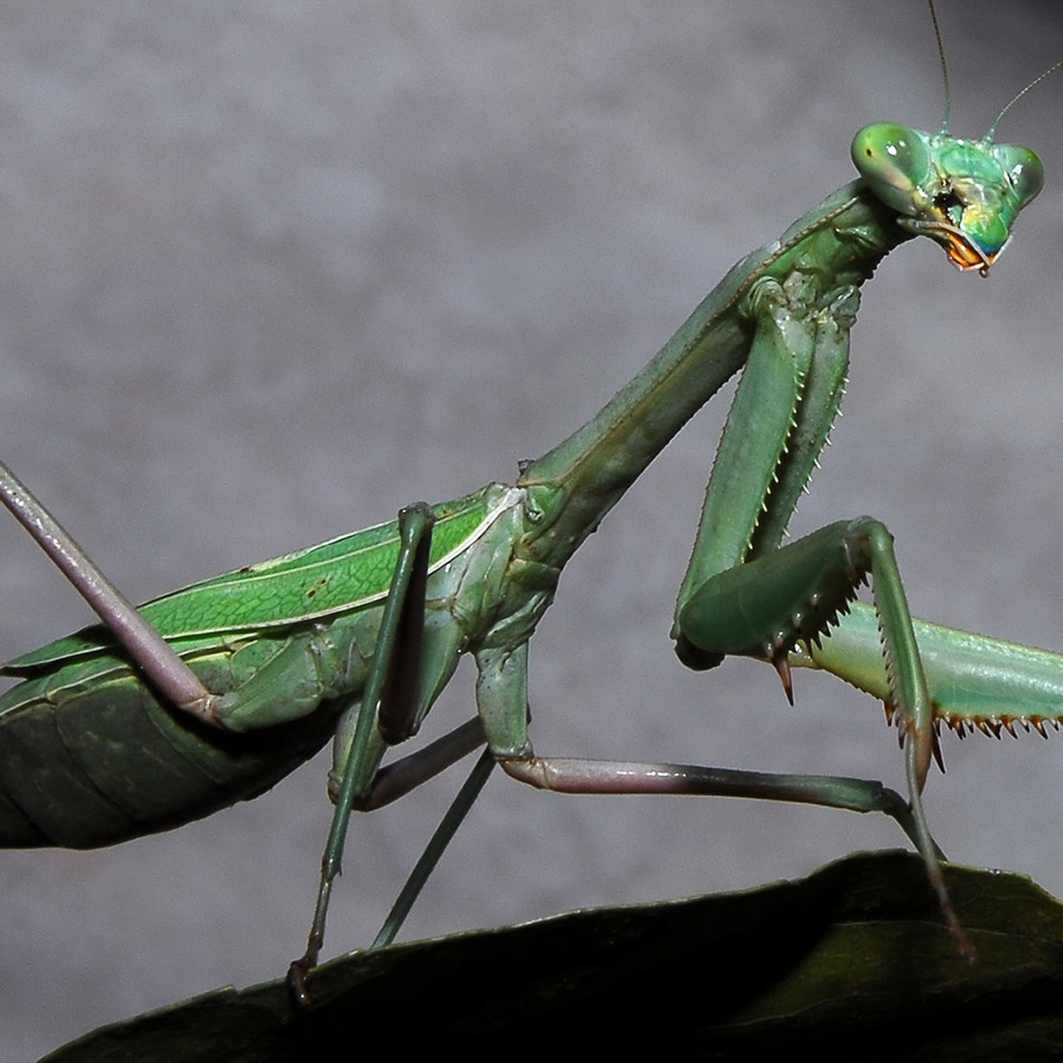 Praying mantis3