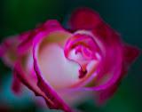 """Soft Rose"" by Rich Sherman"
