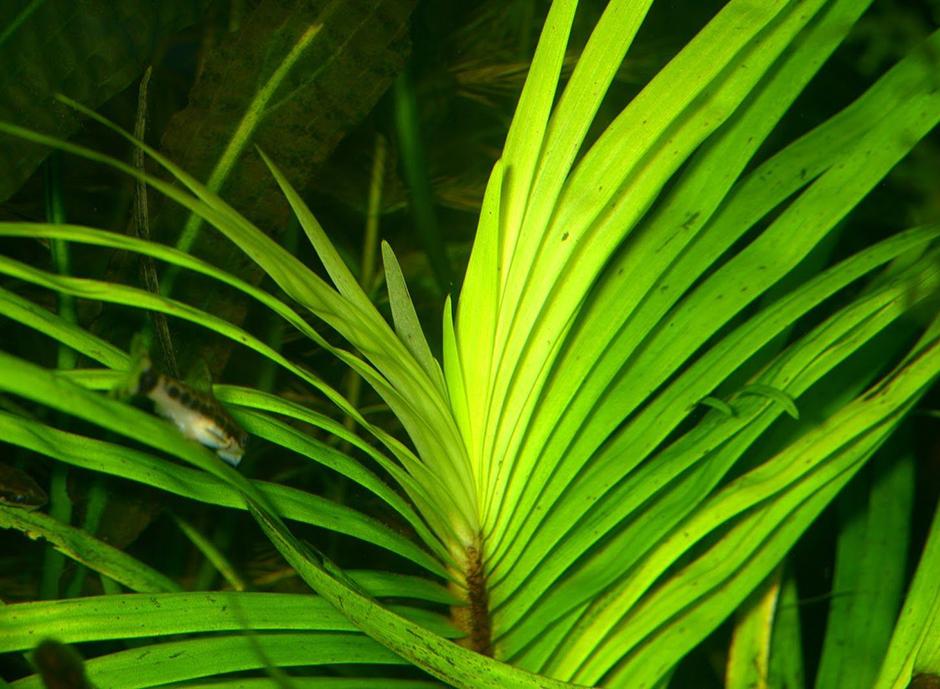 Эйхорния лазоревая (Eichhornia azurea)