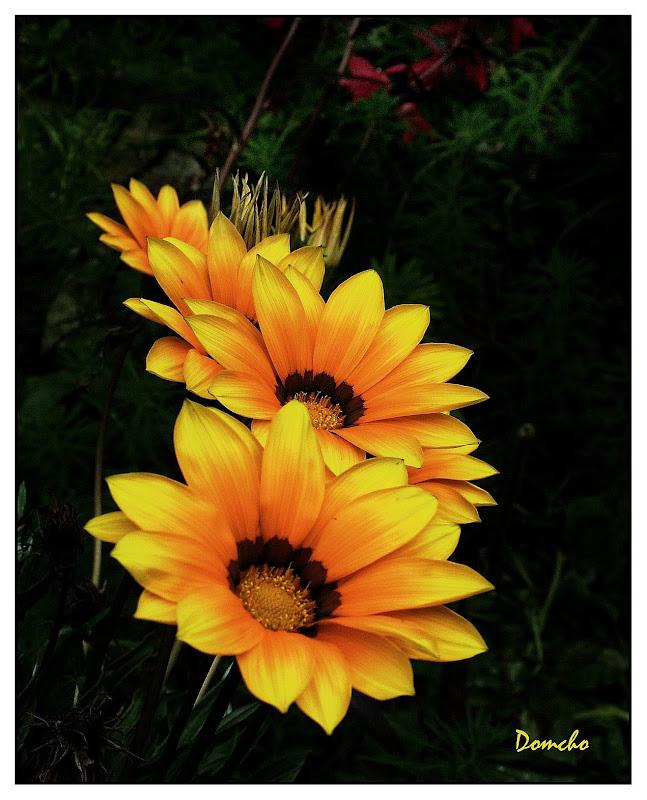 Une fleur par jour.... - Page 4 Gazania4529%252520copie