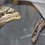 Caligo oileus oileus C. Felder & R. Felder, 1861 : femelle à gauche et mâle à droite. Paris, le 28 décembre 2015. Photo : J.-M. Gayman
