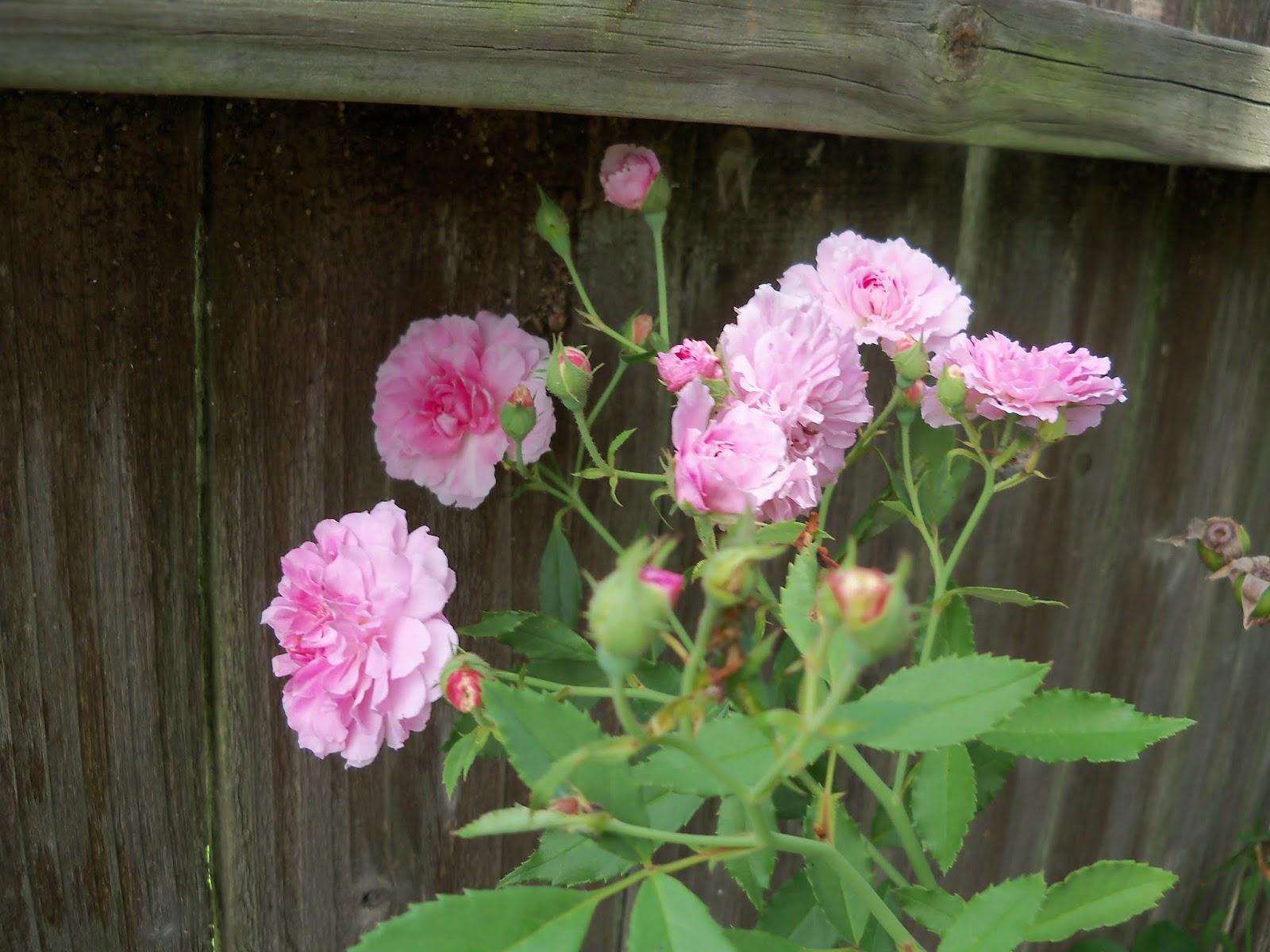 Gardening 2015 - 116_9414.JPG
