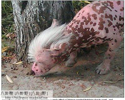 中國冠毛犬