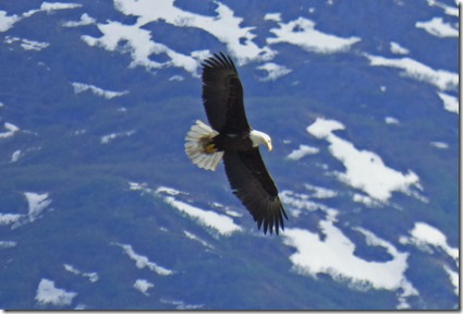 Bald Eagle over Valdez Alaska