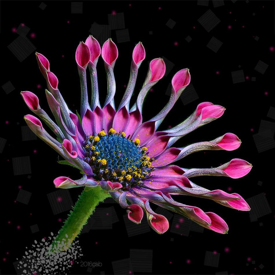 Testclod Osteospermum Ou Marguerite Du Cap Fleur Originaire D