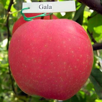 Гала яблони купить