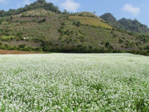 301 Mộc Châu đẹp tinh khôi mùa cải trắng