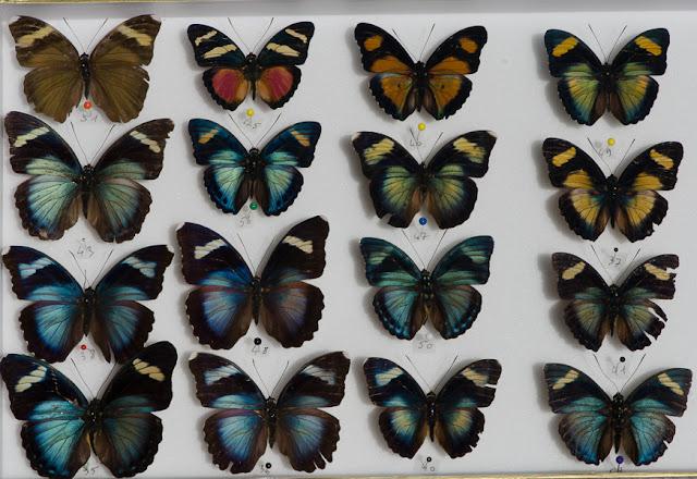 Plusieurs espèces d'Euphaedra. Ebogo, avril 2013. Coll. et photo : C. Basset