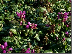 Hummingbirds love Lamium