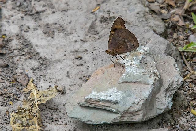Eunica caralis caralis (Hewitson, [1857]). Campamento Las Moyas, 1100 m (Boyacá, Colombie), 1er novembre 2015. Photo : B. Lalanne-Cassou