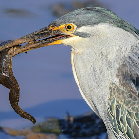 Heron by Dirk Luus - Animals Birds ( bird, nature, wildlife, heron, animal,  )