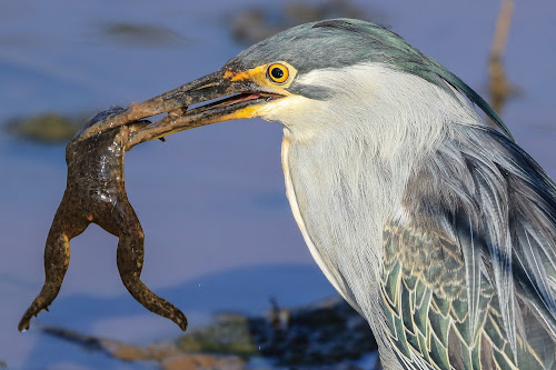 Heron by Dirk Luus - Animals Birds ( bird, nature, wildlife, heron, animal,  )