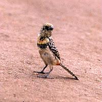 69 mottled bird.jpg