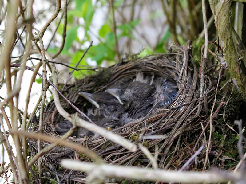 Baby-blackbirds - Cathy R